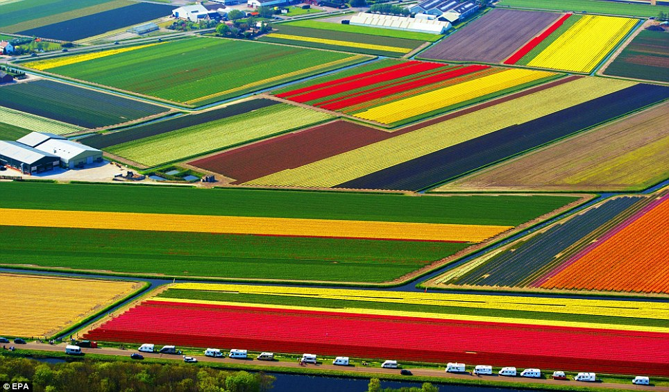 The carpet of Tulips near Lisse, South Holland
